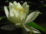 Bild:  Weiße Seerose Blüte gelb Nymphaea alba