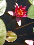 Seerose Bluete rot Nympaea Froebelii 01