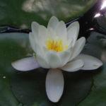 Seerose Bluete weiss Nymphaea alba 01