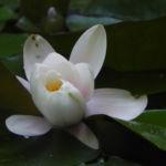 Seerose Bluete weiss Nymphaea alba 03