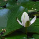 Seerose Bluete weiss Nymphaea alba 04