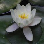 Seerose Bluete weiss Nymphaea alba 05