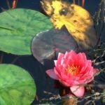 Seerose rot Nympaea froebelii 03