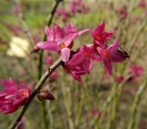 Seidelbast Bluete pink Daphne mezereum 02