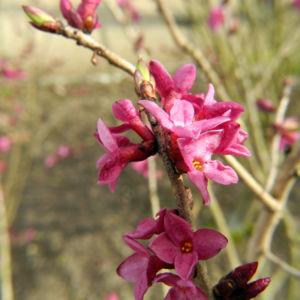 Seidelbast Bluete pink Daphne mezereum 03