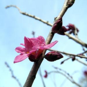 Seidelbast Bluete pink Daphne mezereum 06
