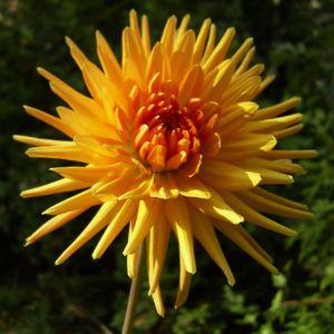 Semikaktus Dahlie orange Dahlia 02