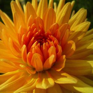 Semikaktus Dahlie orange Dahlia 03