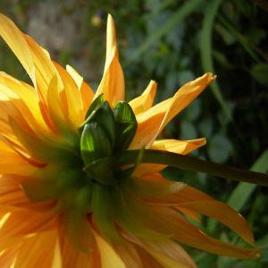 Semikaktus Dahlie orange Dahlia 05