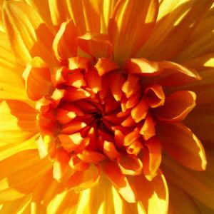 Semikaktus Dahlie orange Dahlia 06