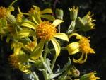 Showy Groundsel Bluete gelb Senecio magnificus 13