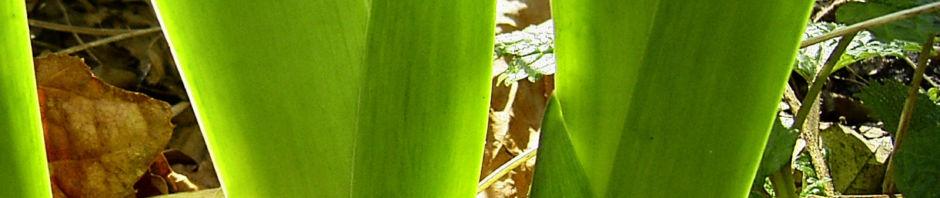sibirische-schwertlilie-blattschaft-gruen-iris-sibirica
