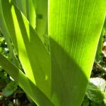 Sibirische Schwertlilie Blattschaft Iris sibirica 04