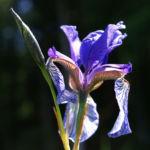 Sibirische Schwertlilie Bluete blau Iris sibirica 12