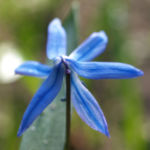 Sibirischer Blaustern Nickender Blaustern Bluete blau Scilla siberica 04