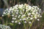 Sichelmoehre Bluetendolde weiss Falcaria vulgaris 02
