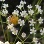 Sichelmoehre Bluetendolde weiss Falcaria vulgaris 06