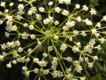Sichelmoehre Bluetendolde weiss Falcaria vulgaris 07
