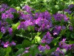 Siebolds Schluesselblume Bluete lila Primula sieboldii 02