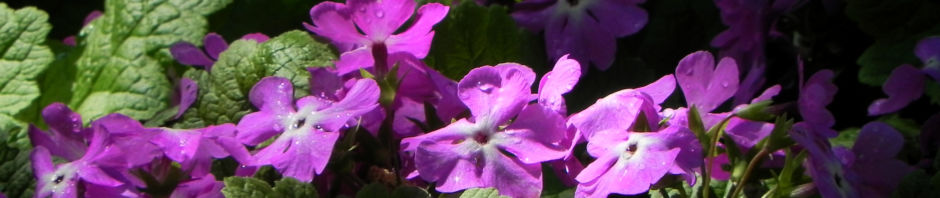 siebolds-schluesselblume-bluete-lila-primula-sieboldii