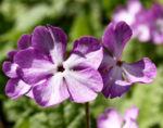 Siebolds Schluesselblume Bluete weiss lila Primula sieboldii 05