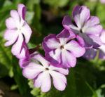 Siebolds Schluesselblume Bluete weiss lila Primula sieboldii 09