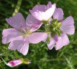 Siegmarskraut Rosen Malve Bluete rosa Malva alcea 08
