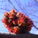 Silber Ahorn Knospe Acer saccharinum 04