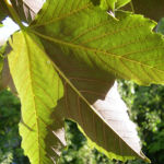 Silber Ahorn Acer saccharinum 08