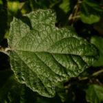 Silber Pappel Blatt Populus alba 05