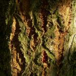 Silber Pappel Blatt Populus alba 07