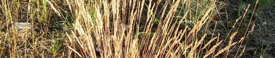silbergras-bueschel-braeunlich-corynephorus-canescens