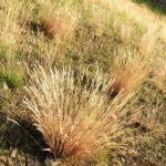 Silbergras Bueschel braeunlich Corynephorus canescens 06