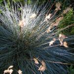 Silbergras Corynephorus canescens 01