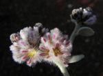 Silvertails Cotton Bush Bluete pink Ptilotus obovatus 14 1