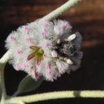 Silvertails Cotton Bush Bluete pink Ptilotus obovatus 20 1