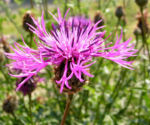 Skabiosen Flockenblume Bluete lila Centaurea scabiosa 03