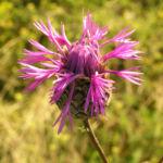 Skabiosen Flockenblume Bluete pink Centaurea scabiosa 01