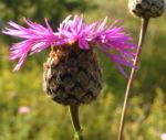 Skabiosen Flockenblume Bluete pink Centaurea scabiosa 02