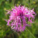 Skabiosen Flockenblume Bluete pink Centaurea scabiosa 06