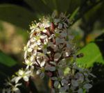 Skimmie Bluete weiß Skimmia japonica 13