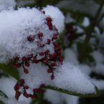 Skimmie Schnee Skimmia japonica 02
