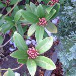 Skimmie japanisch Skimmia japonica 02