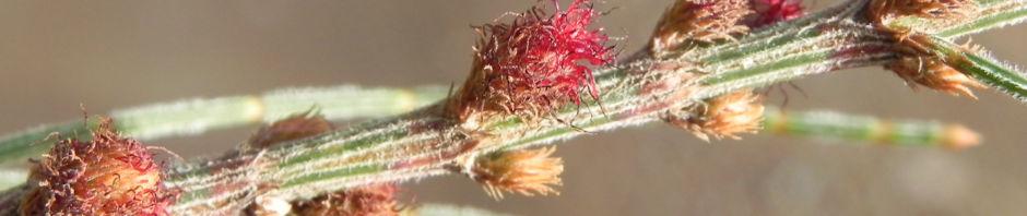small-bull-oak-she-oak-busch-bluete-rot-allocasuarina-striata