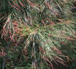 Small Bull Oak Busch Bluete rotbraun Allocasuarina striata 11
