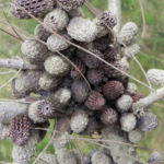 Small Bull Oak Busch Frucht grau Allocasuarina striata 07