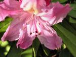 Smirnows Alpenrose Bluete pink Rhododendron smirnowii 09