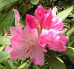 Smirnows Alpenrose Bluete pink Rhododendron smirnowii 11