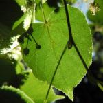 Sommerlinde Blatt gruen Tilia platyphyllos 02