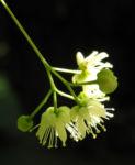 Sommerlinde Bluete gelblich Tilia platyphyllos 05